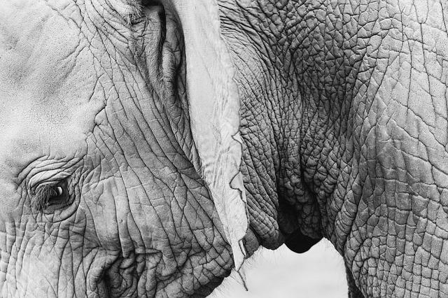 vrásky slona