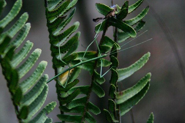 pakobylka na rostlině