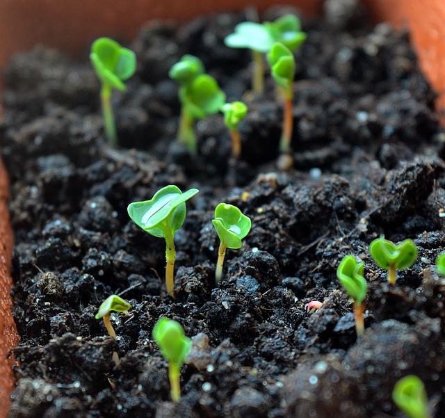 mladé brukvovité rostlinky.jpg